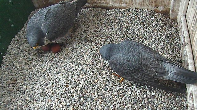 UW-Oshkosh monitors falcons nest with webcam