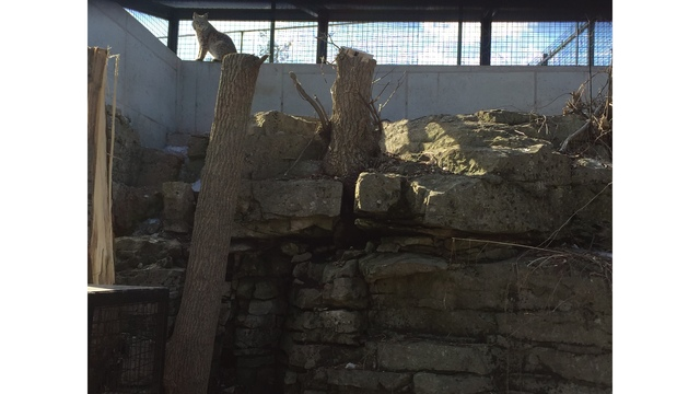 Bobcat Party Coming to Bruemmer Park Zoo